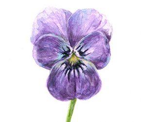 Fijnschildering met aquarelverf van een paars viooltje door Adriana Schuurman